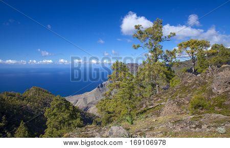 central Gran Canaria Nature Park Tamadaba canarian Pine trees on the slopes