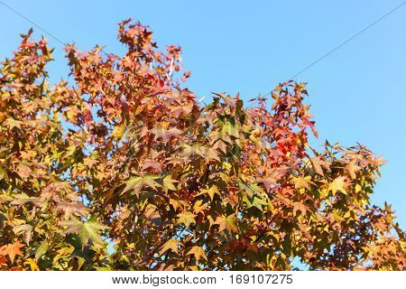 maple leaf with clear blue sky. three maple leaves have changed color in fall.
