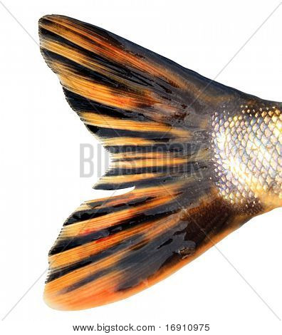 tail of the pike on white background