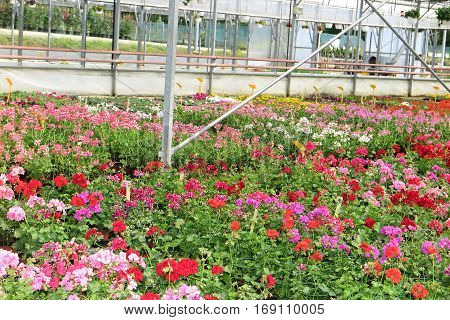 Thousands Of Pink And Red Flowers In A Garden Center Under A Greenhouse