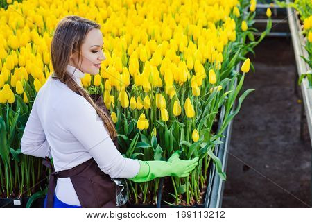 worker gardener florist dressed in workwear, cares about plantation with yellow tulips, in a garden center