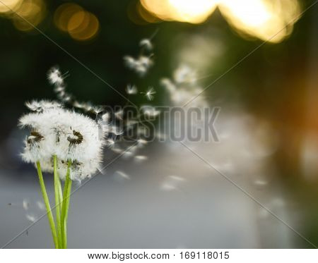 Dandelion growing in the wind on a green background. Close-up.