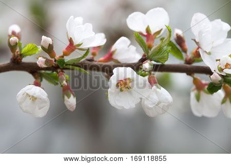 Spring tree branch white flowers macro view. soft focus Nanking cherry, Prunus tomentosa. deciduous shrub macro view photo