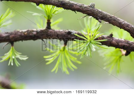 Macro view fir tree branch. evergreen leaves needles, gray background. shallow depth field.
