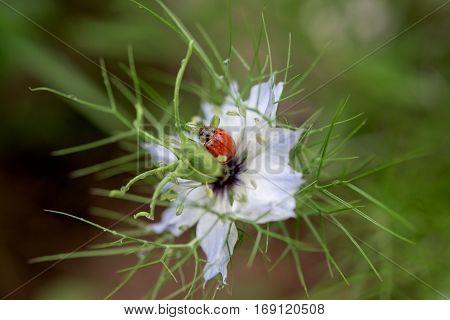 Red ladybug on a blue flower- close up