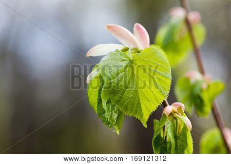 Linden tree bud, embryonic shoot with fresh green leaf. macro view tree branch, gray background. spring time concept, soft focus photo