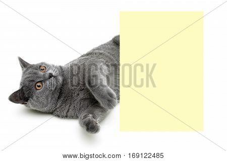 kitten lies near a banner on a white background. horizontal photo.