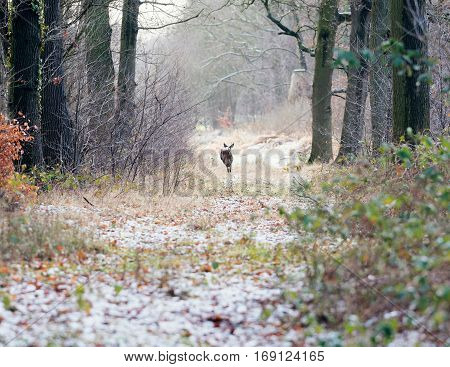 Roe Deer Running Away In Path Of Winter Forest. Rear View.
