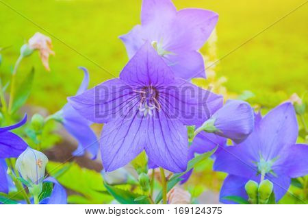 Bellflowers - Platycodon grandiflorus - in the meadow. It is commonly known as common balloon flower or balloon flower