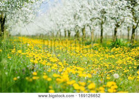 Beautiful spring dandelion flower and green grass meadow in white blossom orchard