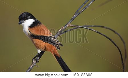 Bird (long-tailed Shrike) , Thailand
