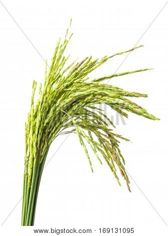 green rice spike on white background .