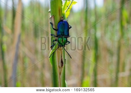 Green and blue shining beetle on a plant