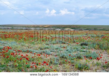 Spring steppes covered with blossoming poppies in morning