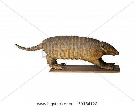 Taxidermy stuffed Armadillo isolated on white background
