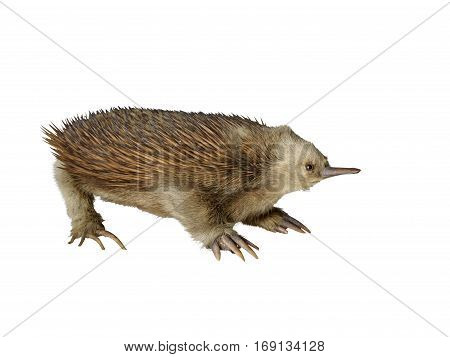Taxidermy stuffed echidna isolated on white background