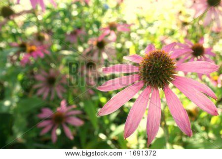 Pink Echinea