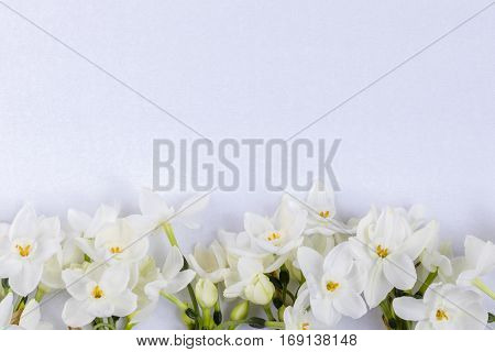 White narcissus in line at the bottom on white textured background