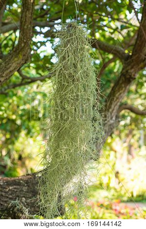 Spanish moss grows on tree in garden