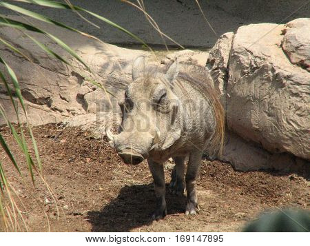 Warthog with a big grin on his face