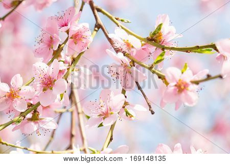 Spring blossom background peach tree flower on a beautiful sunny day