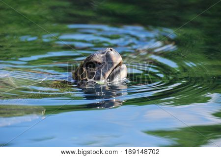 Great capture of a sea turtle with his mouth open above the water.