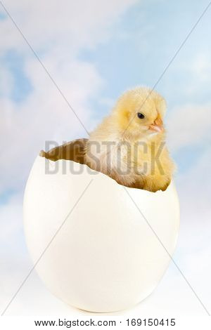 Tiny easter chick hatching from a huge ostrich egg
