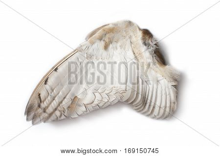 Single owl wing from the inner side