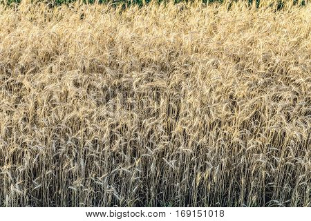 Field with ripe ears of wheat rye cereals. Agricultural background.