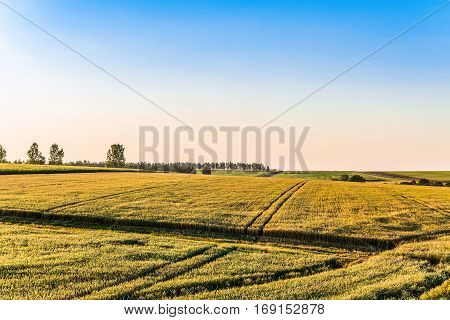 Cereal field on a sunny day. Agricultural landscape.