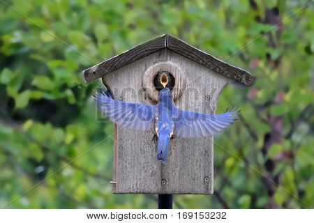 Photo of a female bluebird coaxing a baby out of the nesting box with food for it's first flight