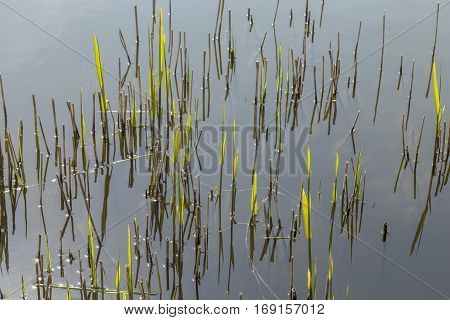 Reed Grass In The Backwater