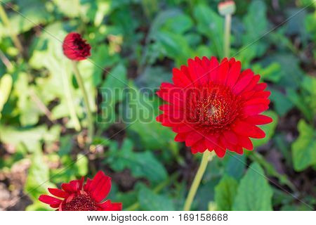 Red Gerbera flower on green show nature concept