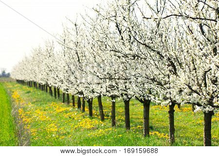 White spring blossom plum tree orchard and green meadow full od dandelion flower as a background full of beauty