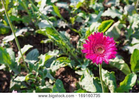 Pink Gerbera flower on green show nature concept