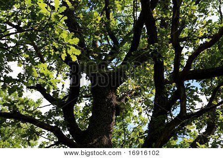 big oak in summer wood