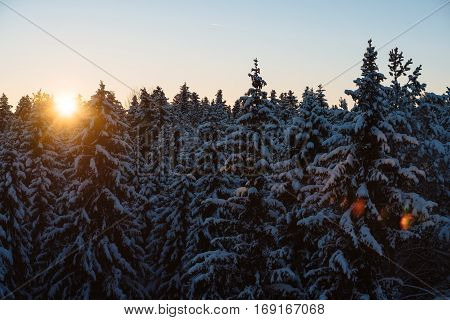 Early morning at snowy forest. Fabulous winter landscape- sunrise at fir forest covered with snow