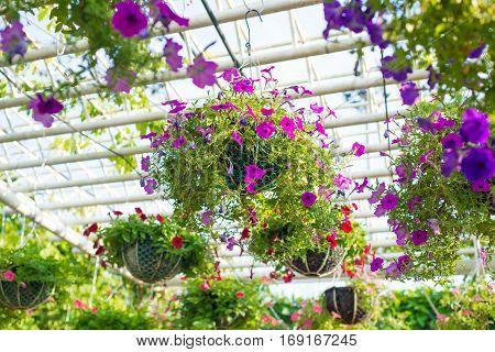 Torenia fournieri. Colorful wishbone flower in garden
