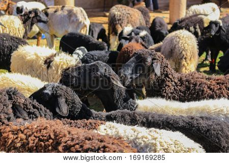 Wool Sheep For Sale