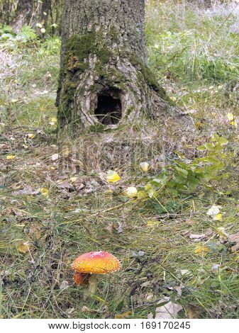 Spotted red fly agaric under a tree with hollow