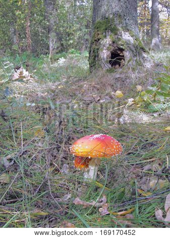 picturesque fly agaric on the background hollow tree