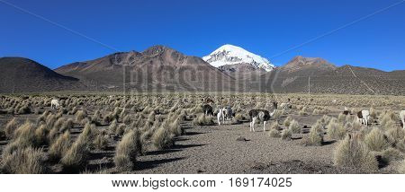 The Andean Landscape With Herd Of Llamas
