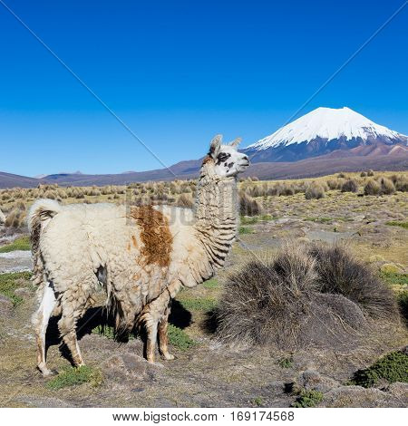 The Andean Landscape With Prinacota Volcano, Bolivia