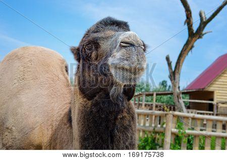 A camel in the zoo. Arabian camel. Dromedary.