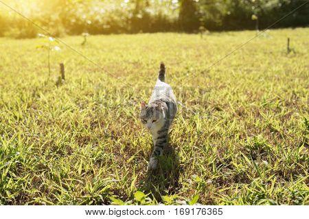 cat walk on the grassland under sunbeam in outdoor