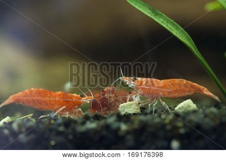 Group of three red sherry shrimp eating