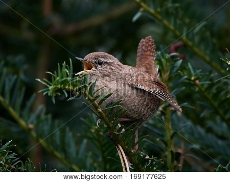 Eurasian wren sitting on a branch singing in its habitat