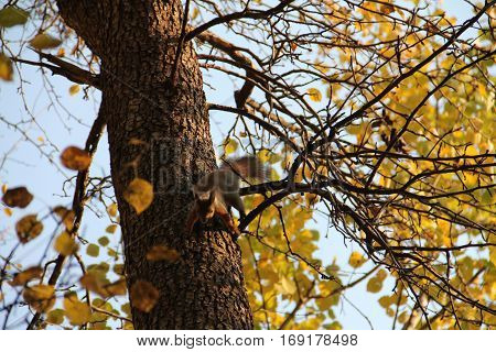 red squirrel jumping on the trunk of a tree in autumn