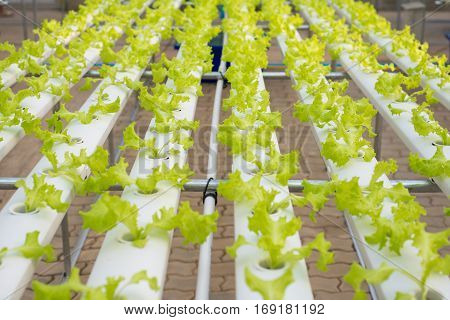 Hydroponic lettuce farm in green house show agriculture industry