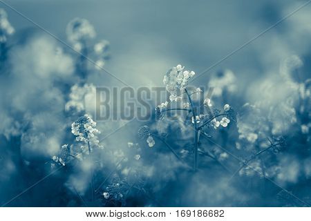 Canola Flowers, Colza. Rapeseed Flowers.vintage Toning, Monochromatic